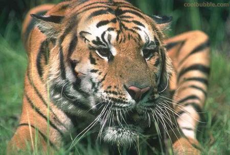 hidden image (tiger face)