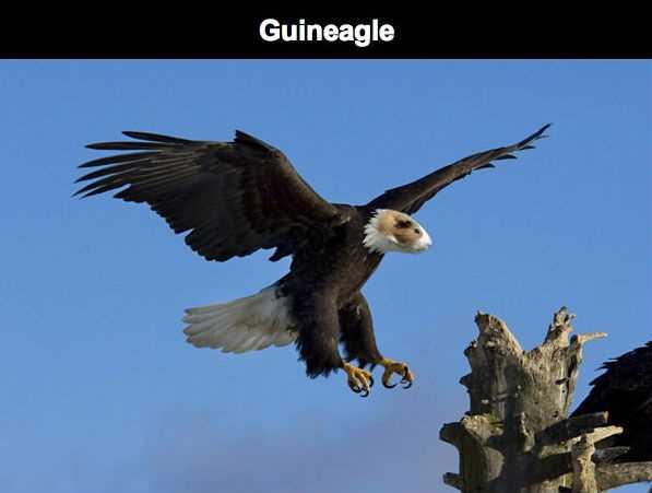 guineagle eagle guinea pig meme