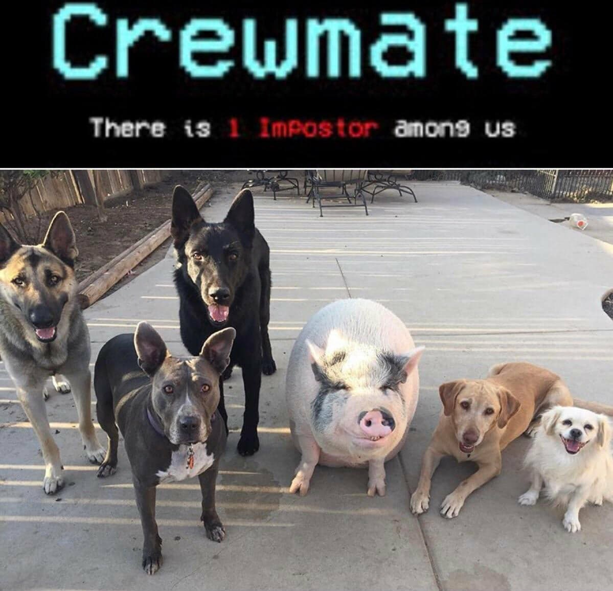 among-us-meme-011-there-is-1-imposter-pig-with-dogs ...