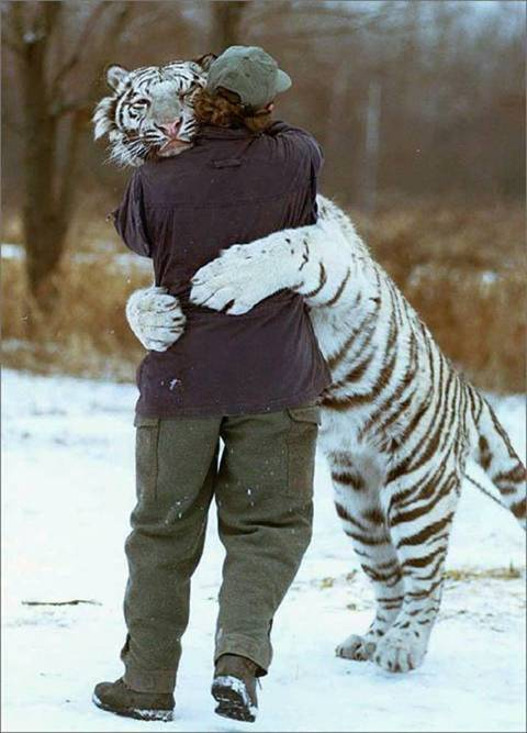 comment reply 011 tiger hug